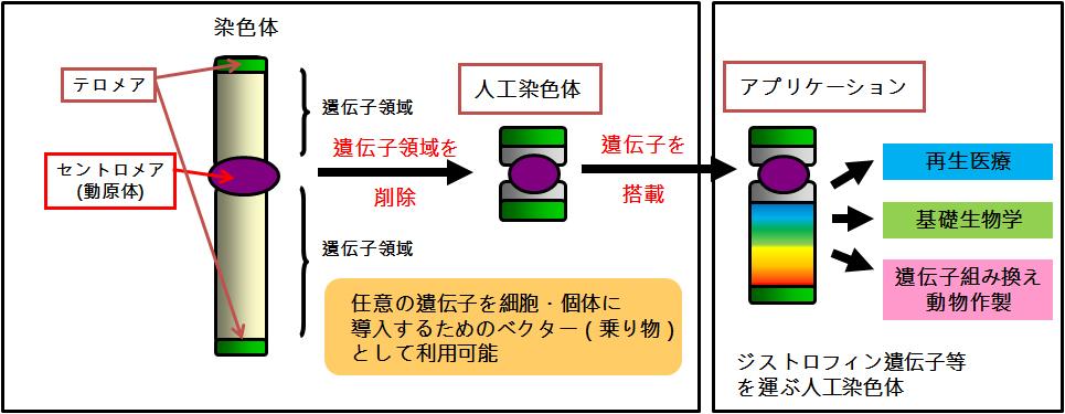 ヒト人工染色体紹介図