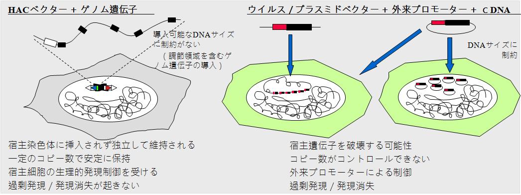 人工染色体利点図