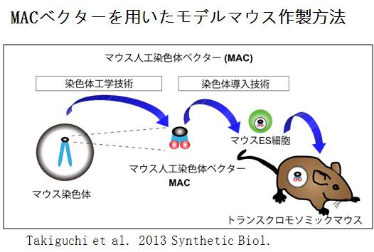 ダウン症 MAC マウス 図