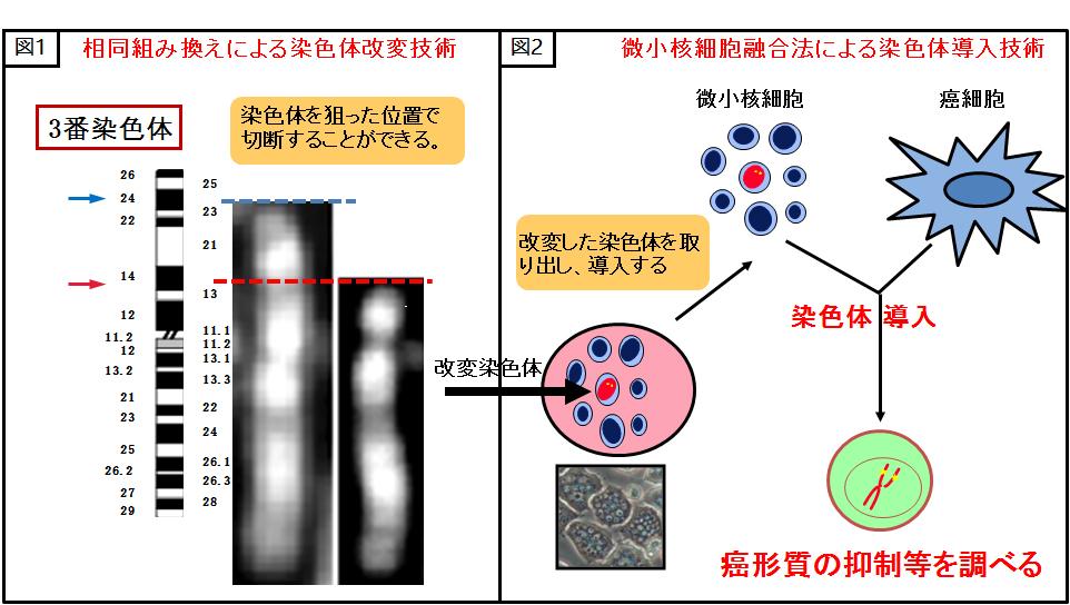 染色体工学技術紹介図